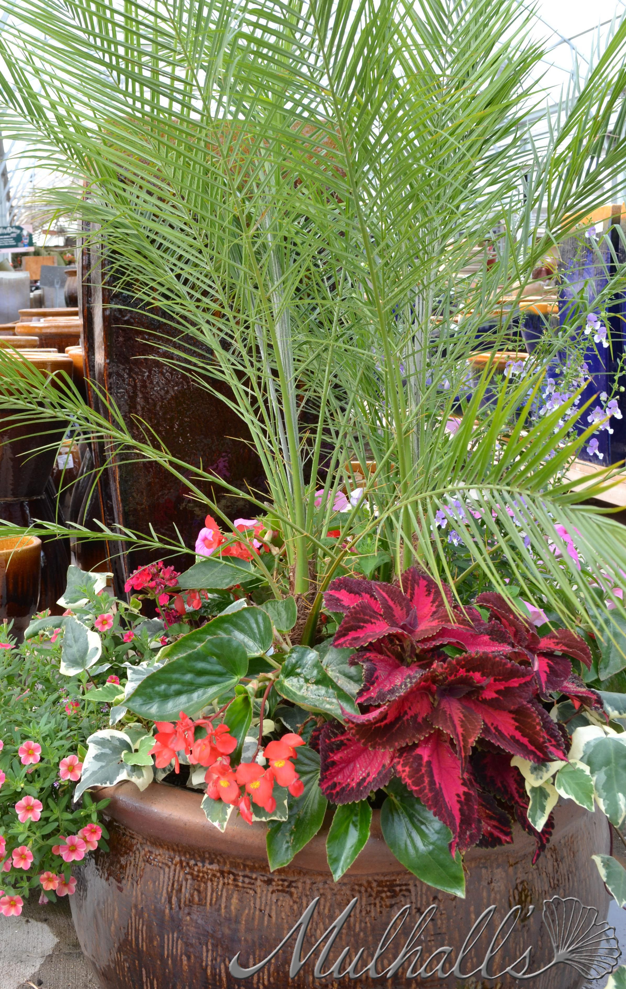 Potted Plants And The Necessary Spring Care: Full Sun Arrangement With Phoenix Robellini Palm, Coleus