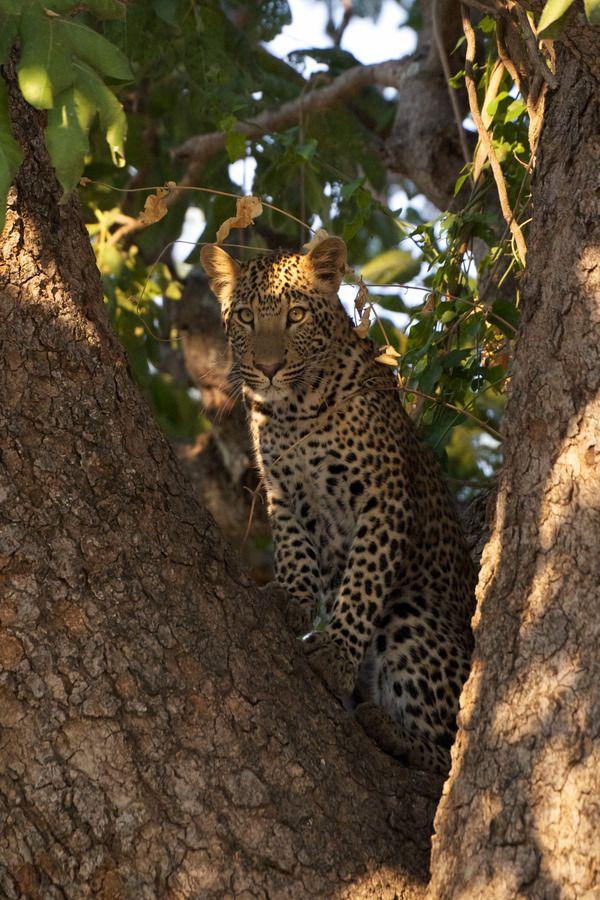 "burningsoul ""Nicole Cambré "" Panthera pardus, Leopards"