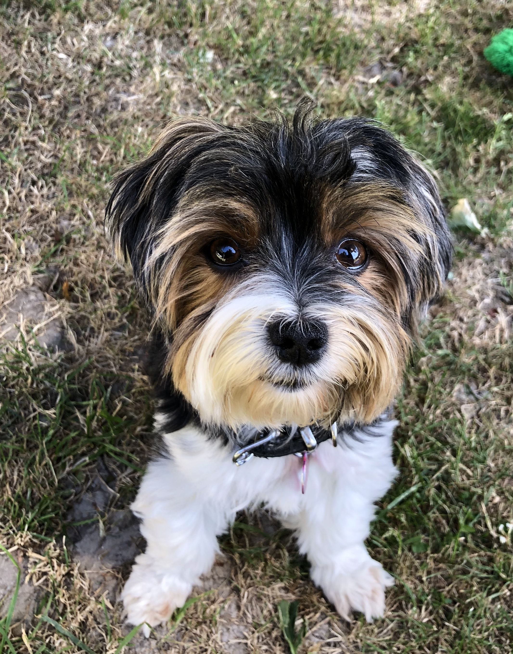 Parti yorkie puppies for sale in pa