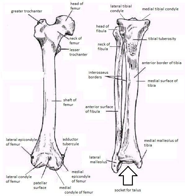 Skeletal System Diagrams Skeletal System Anatomy Human Body Anatomy Anatomy Bones