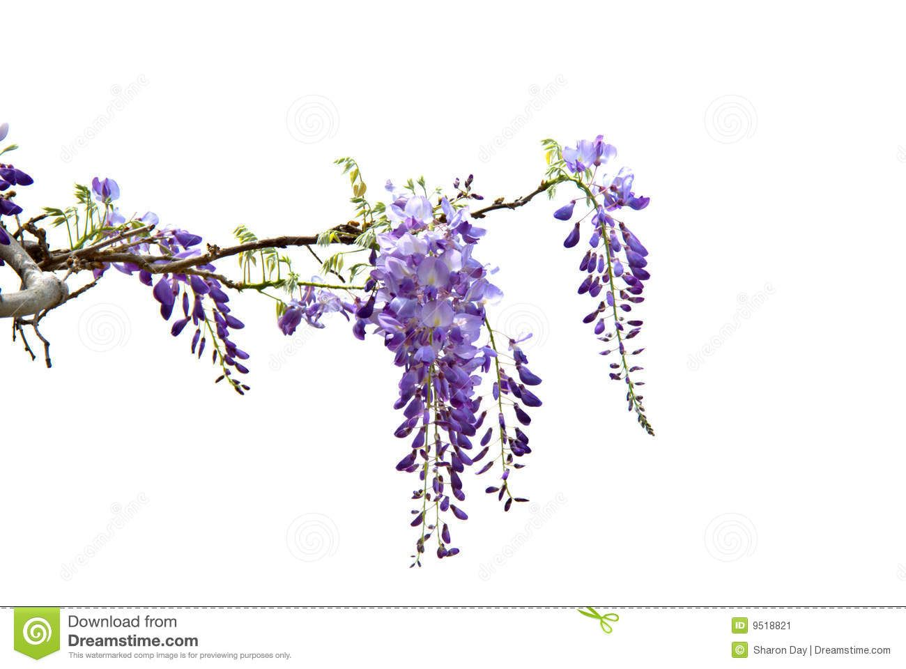 Wisteria Stock Image Image 9518821 Wisteria Flower Painting Butterfly Painting