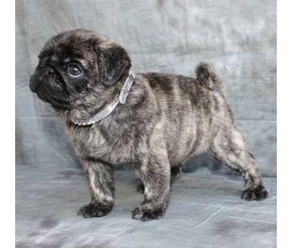 Sharp Pugs Illinois Princess Pugs Pug Puppies Akc