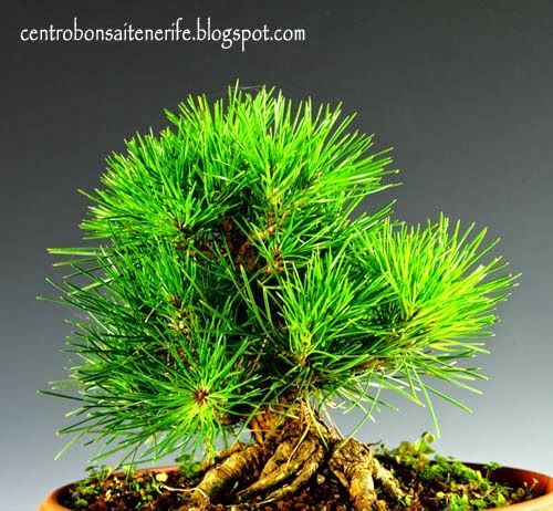 Pinos Thumbergii desde Semilla / Thumbergii Pines from Seed --> after a year