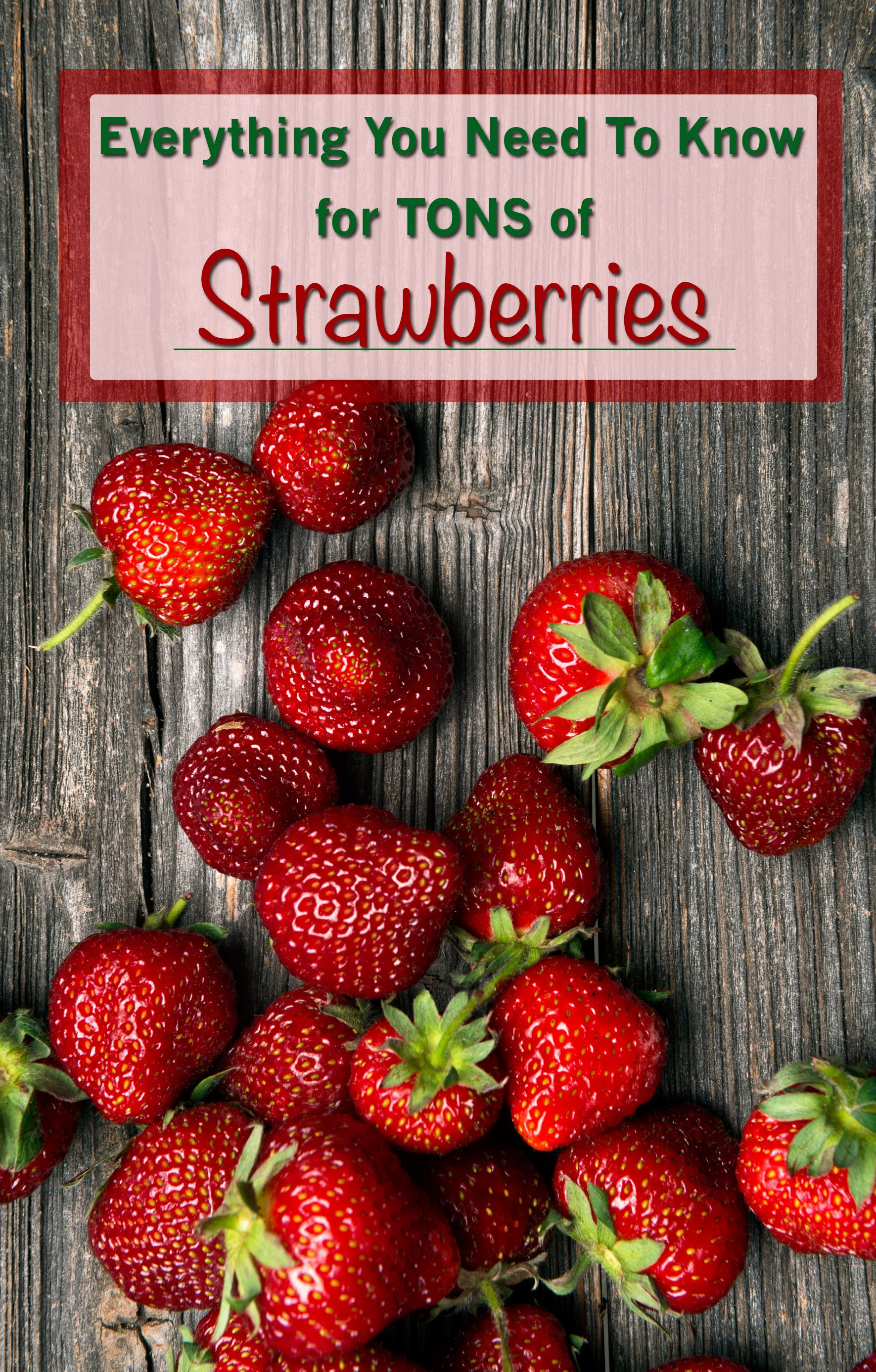 Strawberries Your NeedtoKnow Guide Strawberry plants