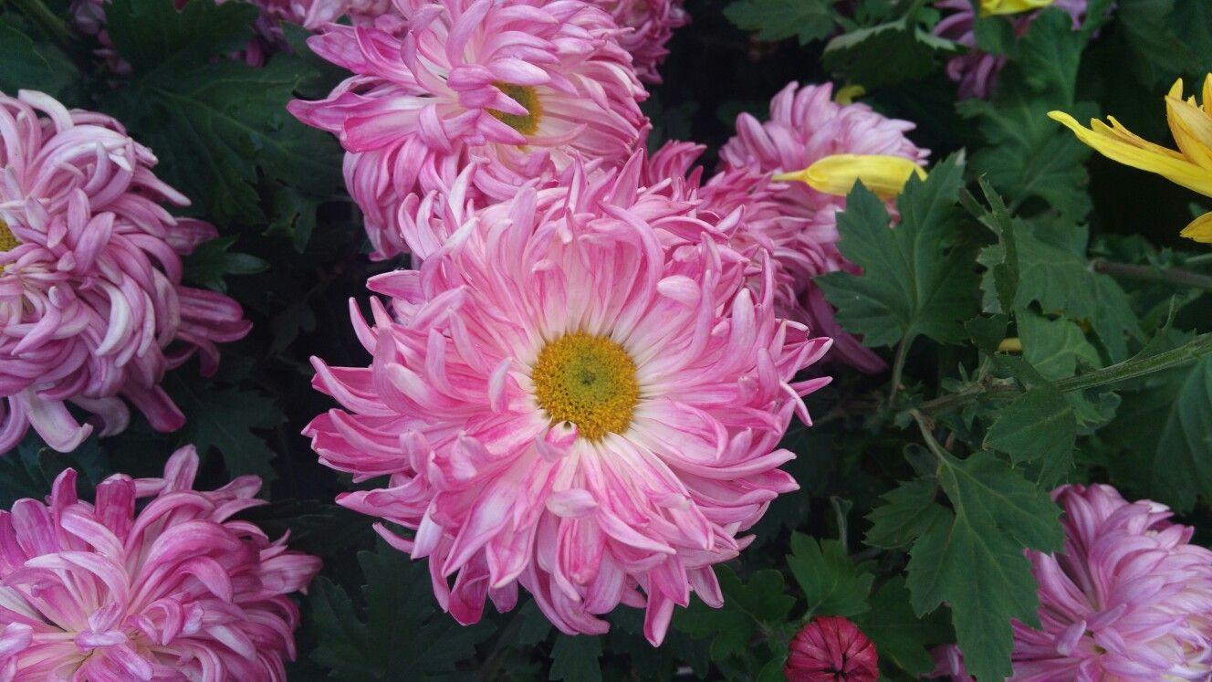 Chrysanthemum flower flowers pinterest chrysanthemum flower
