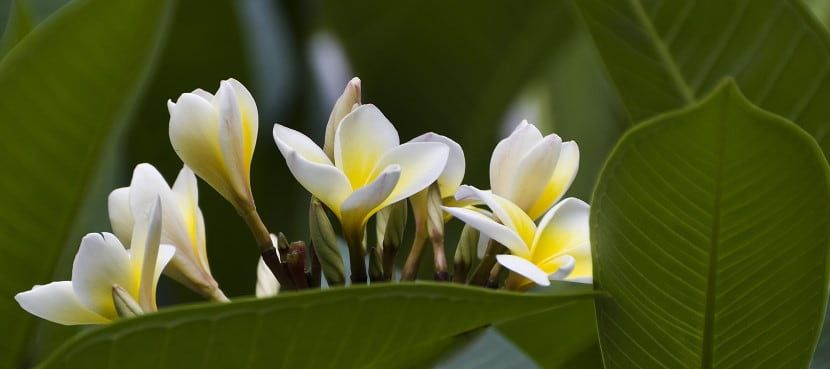 Plumeria Frangipani Essential Oil Vs Absolute Perfumes Tips Facts Essential Bazaar Frangipani Essential Oil Essential Oils Canada Plumeria