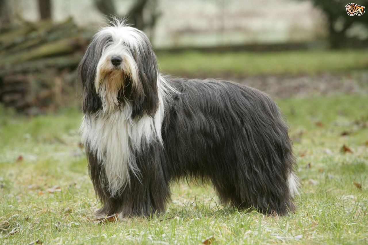 Bearded Collie Dog Breed Information And Profile En 2020 Perro