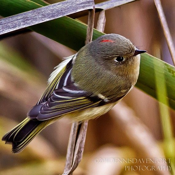 This is a Ruby-crowned Kinglet with its ruby crown visible.  Taken at the Ridgefield NWR, December 2011.