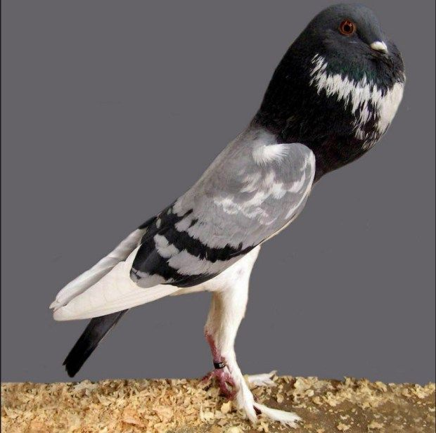 Pigmy Pouter Pigeon; Pigmy pouter pigeon is the tallest ...