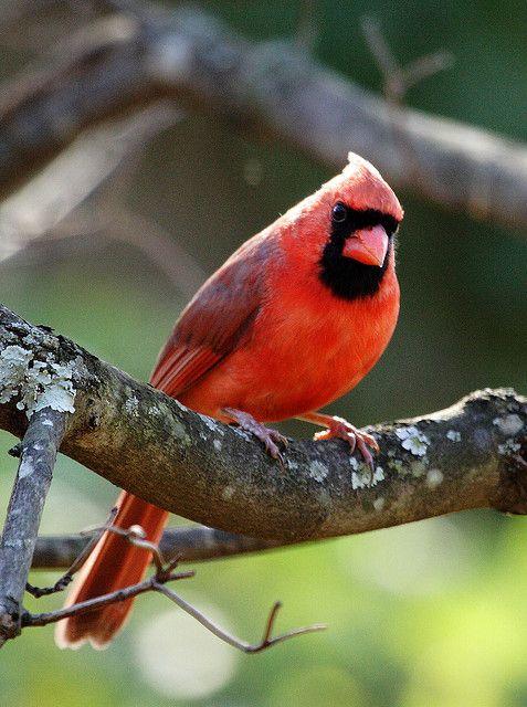 State Bird Of Illinois Northern Cardinal State Birds Northern Cardinal Cardinal