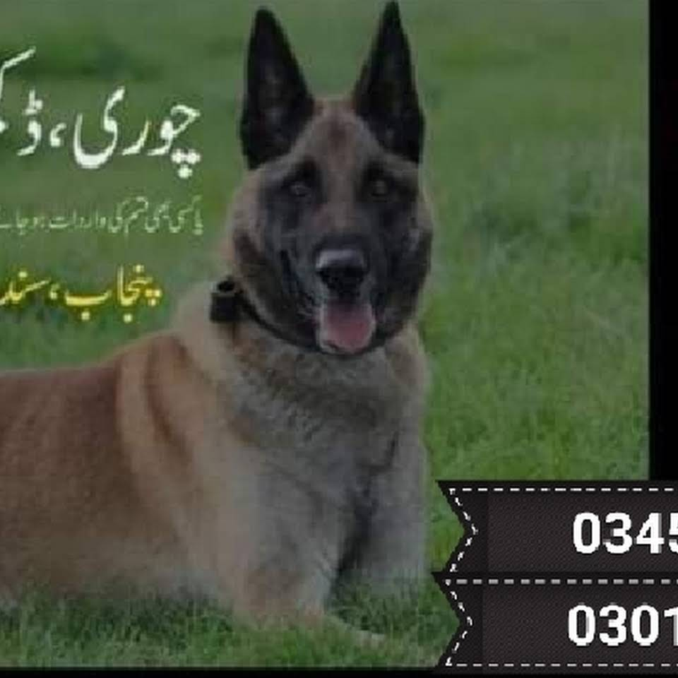 Army Dog Centre Trained Dog Centre Army Dog Centre Rawalpindi Islamabad Pakistan Security Service In Wah Cantt In 2020 Army Dogs Model Town Dogs