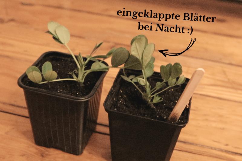 Erdnuss Pflanzen Selber Ziehen Erdnusse In Deutschland Anbauen Wurzelwerk In 2020 Pflanzen Erbsen Pflanzen Fruchte Und Gemuse