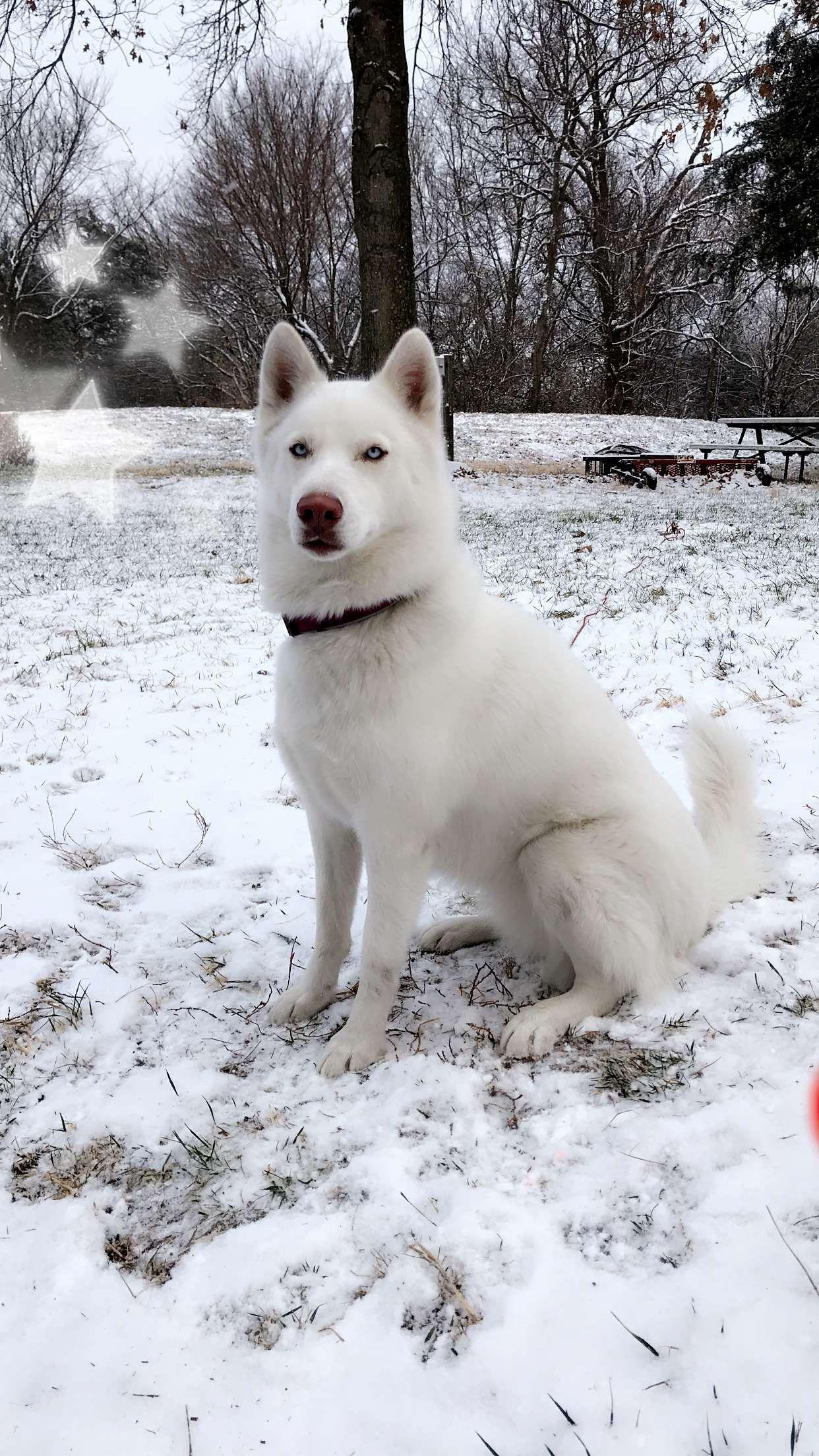 White Siberian Husky White Husky White Siberian Husky