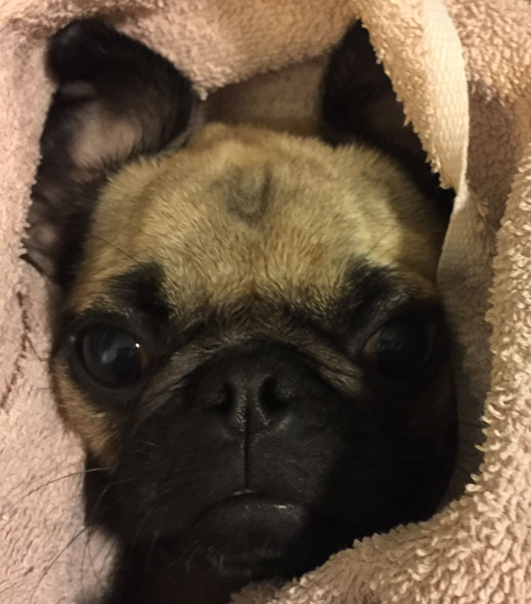 Frug A French Bulldog And Pug Mix Puppy Cute Pugs Pugs Pug Lover