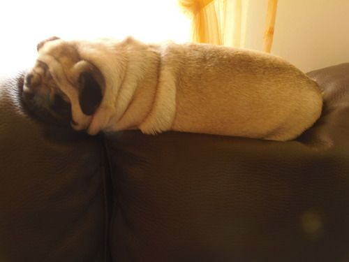 I wish this was a gif and the pug starts rolling on the bed.