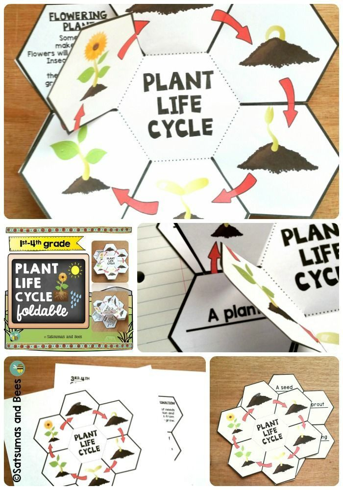 Plant life cycle-Interactive Science Notebook foldable