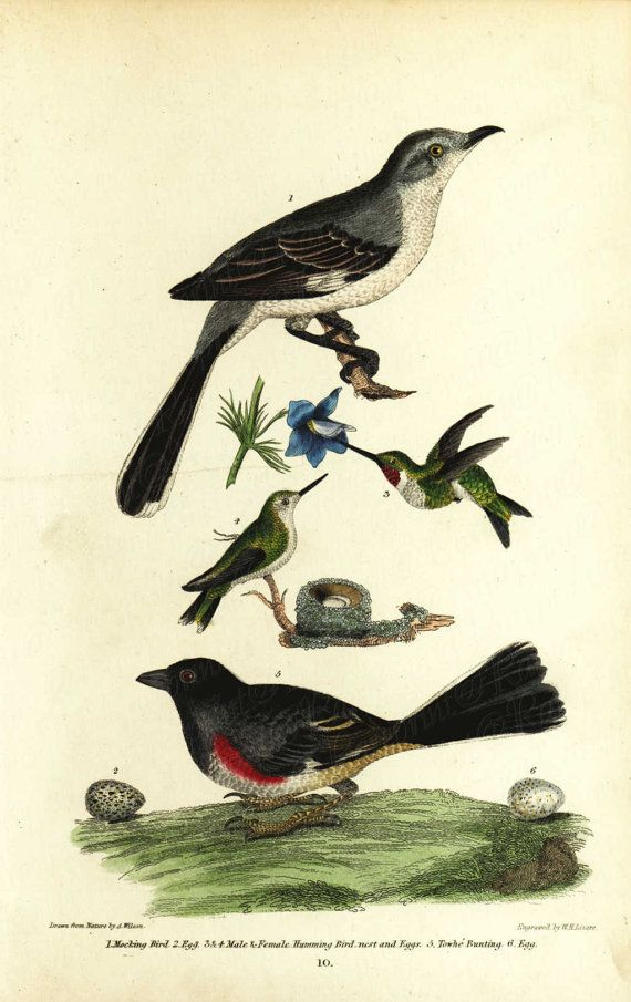 Antique Natural History Birds Engraving Hand Colored Stunning Plate - Original - Mocking Birds and Eggs- Humming Birds nests and eggs