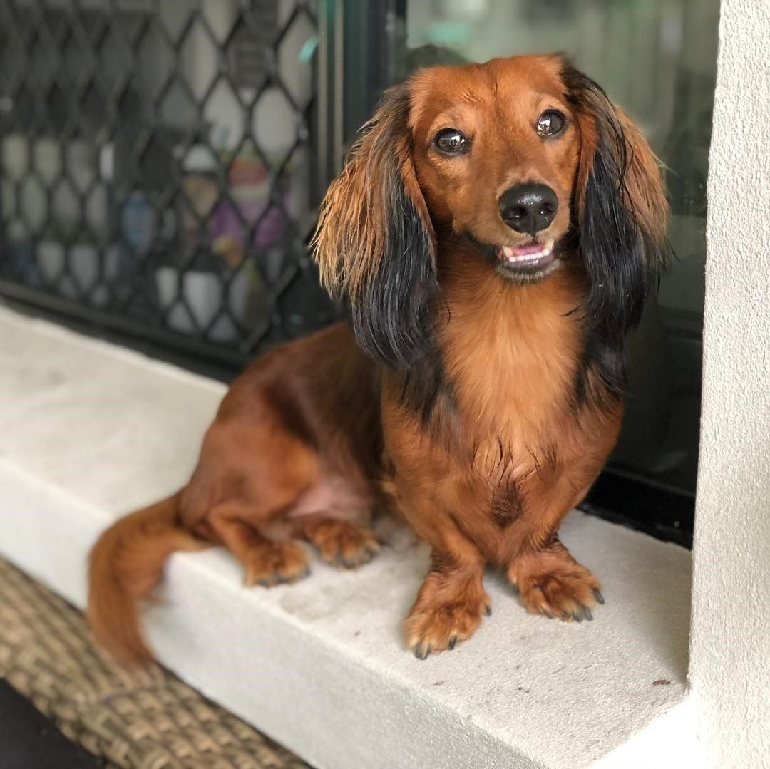 Pin By Danielle Marie On Adorable Doxies 3 Dachshund Dog