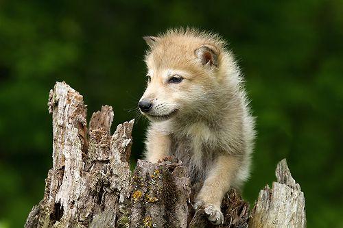 Wolf cub ..