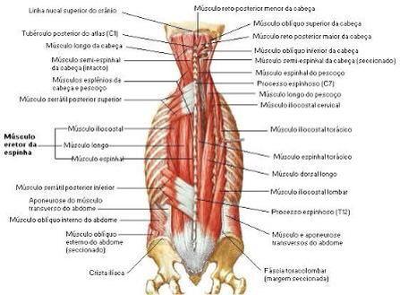 Músculo do Dorso - Camada Intermediaria | Anatomia Humana ...