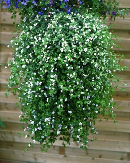 bacopa sutera cascade verte pinterest container. Black Bedroom Furniture Sets. Home Design Ideas
