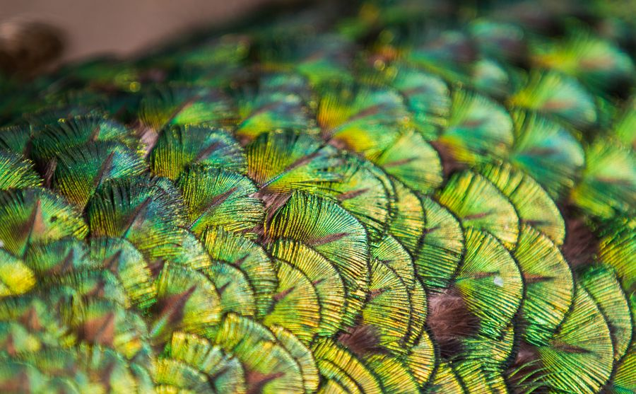 """500px / Photo """"Peacock Feathers"""" by Bowen Clausen"""