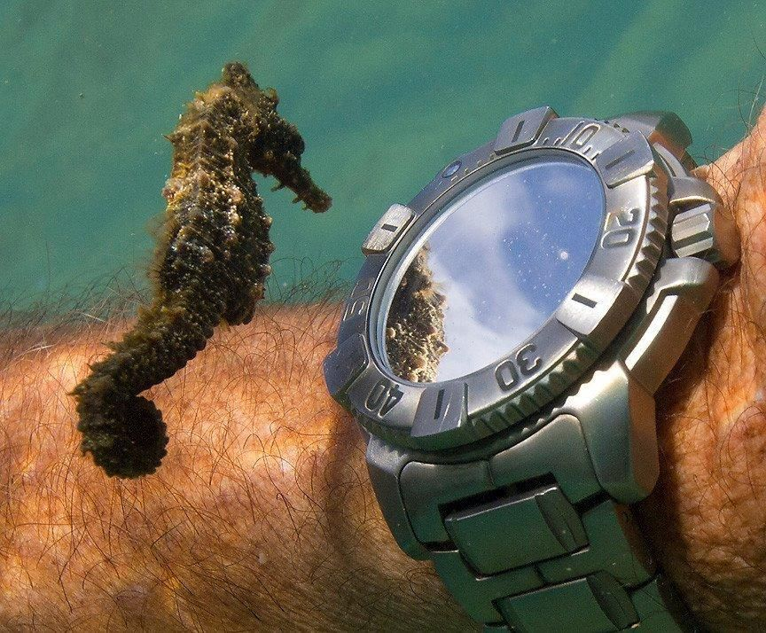 Seahorse Checks Out Reflection In Watch