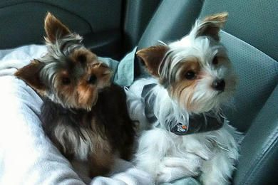 Akc Teacup Yorkies For Sale In Tn Parti Yorkies With Images