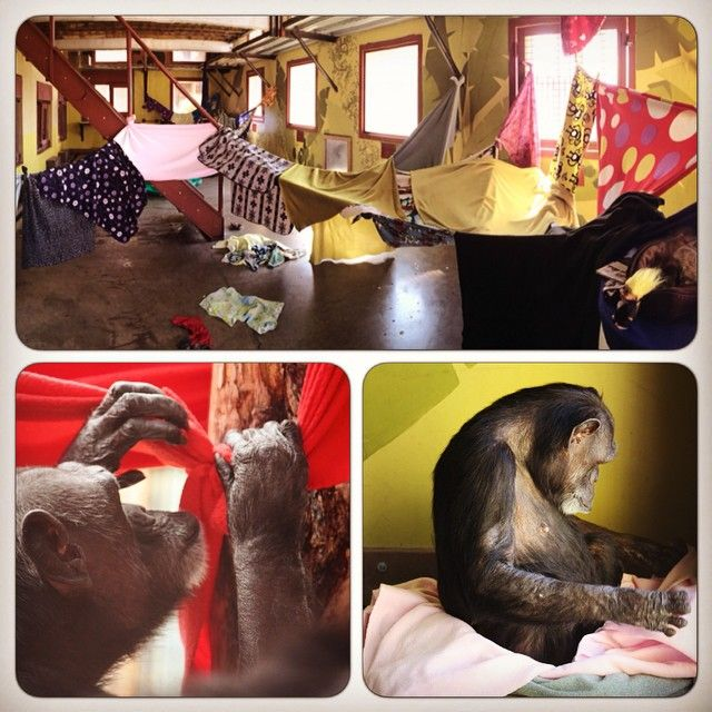 "Day 79 - Today was ""cabana day"" at the sanctuary. While Annie seemed to enjoy the theme, Jody #chimpanzee made it her mission to disassemble the cabanas for her nest. It made for a great enriching project. #100happydays #chimpsanctuarynw"