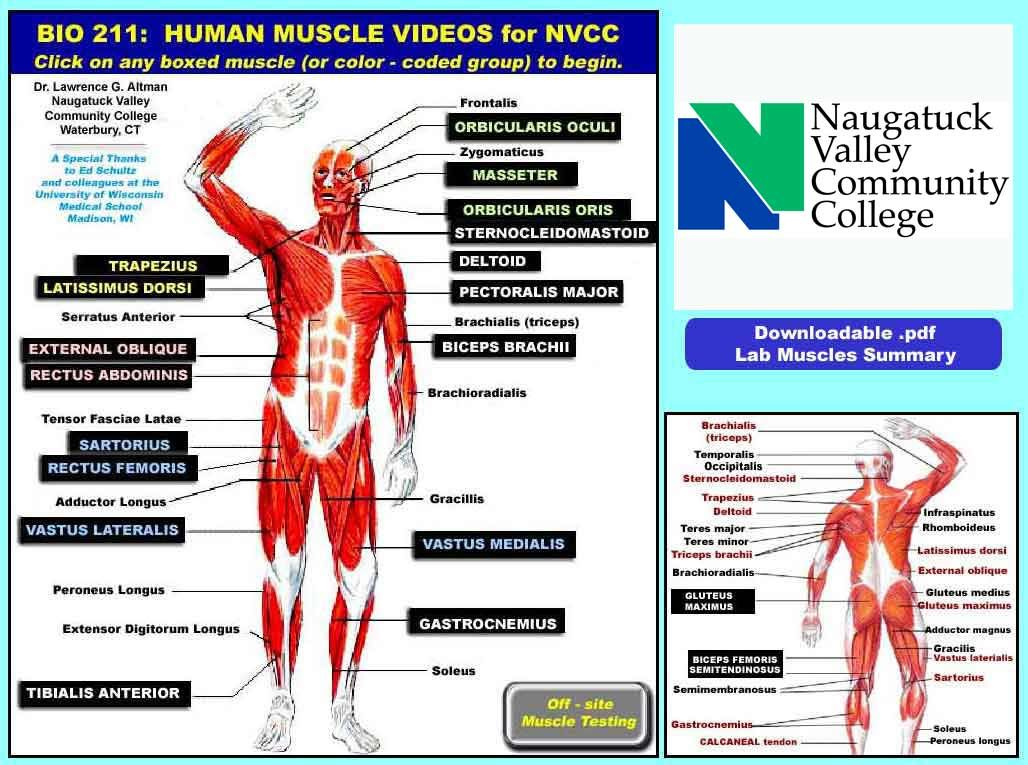 Click-it muscles - Intro to Muscle Movie Project | Nursing Learning ...