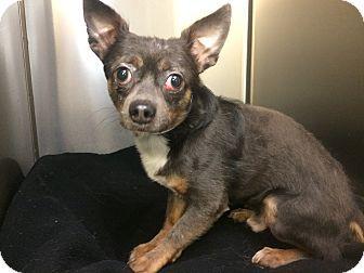 Oak Ridge Nj Chihuahua Meet Miki A Dog For Adoption Dog