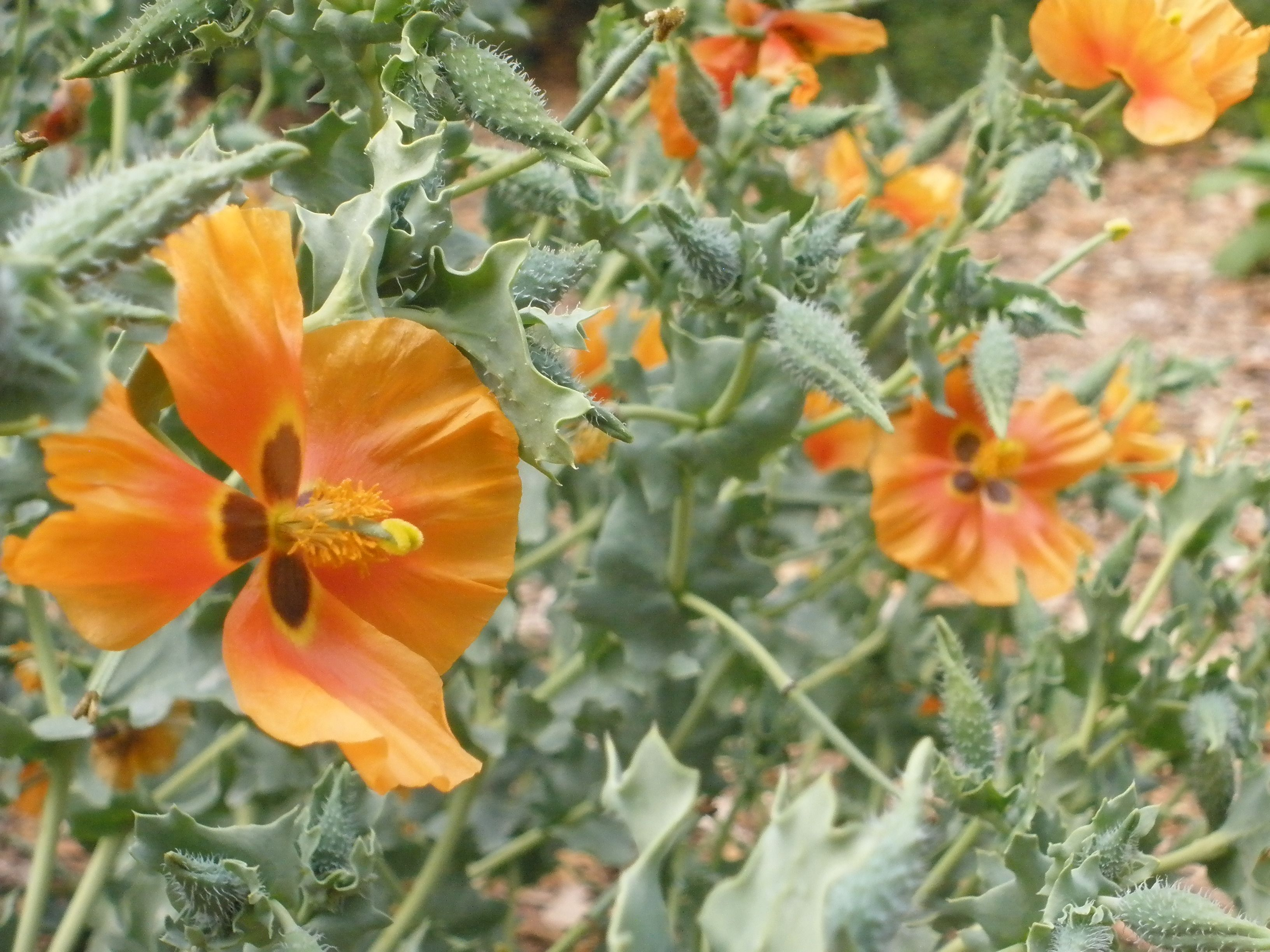 Beautiful Glaucium Grandiflorum (Orange Horned Poppy) Blooming At The SLO  Botanical Garden