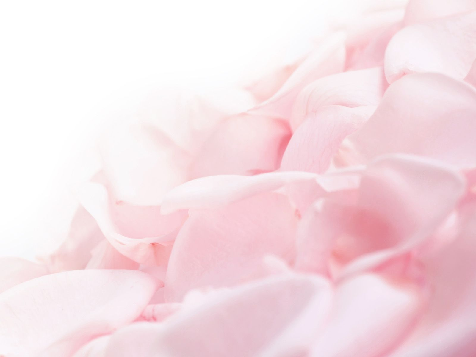 pink rose powerpoint background