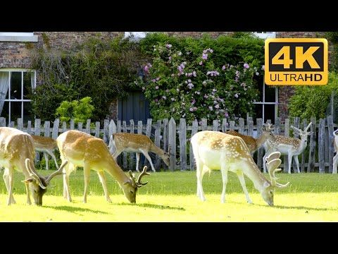 christmas reindeer video and screensaver in 4k uhd these deer are beautiful animals and can