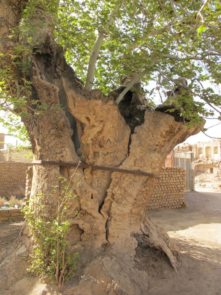 در خواف درختان کهنسالی با این عظمت زیاد به چشم می خورد