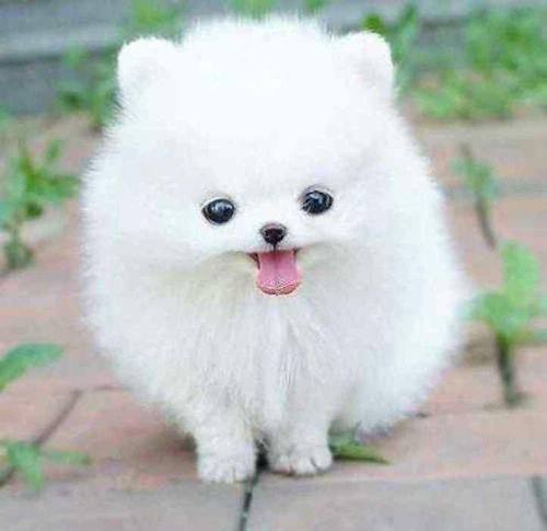 Fluffy Small White Dog Breeds Cute Fluffy Dogs Cute Animal Photos Pomeranian Puppy Teacup