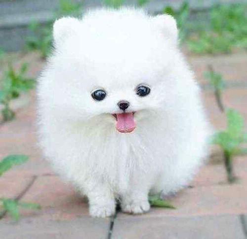 Rare dog breed small