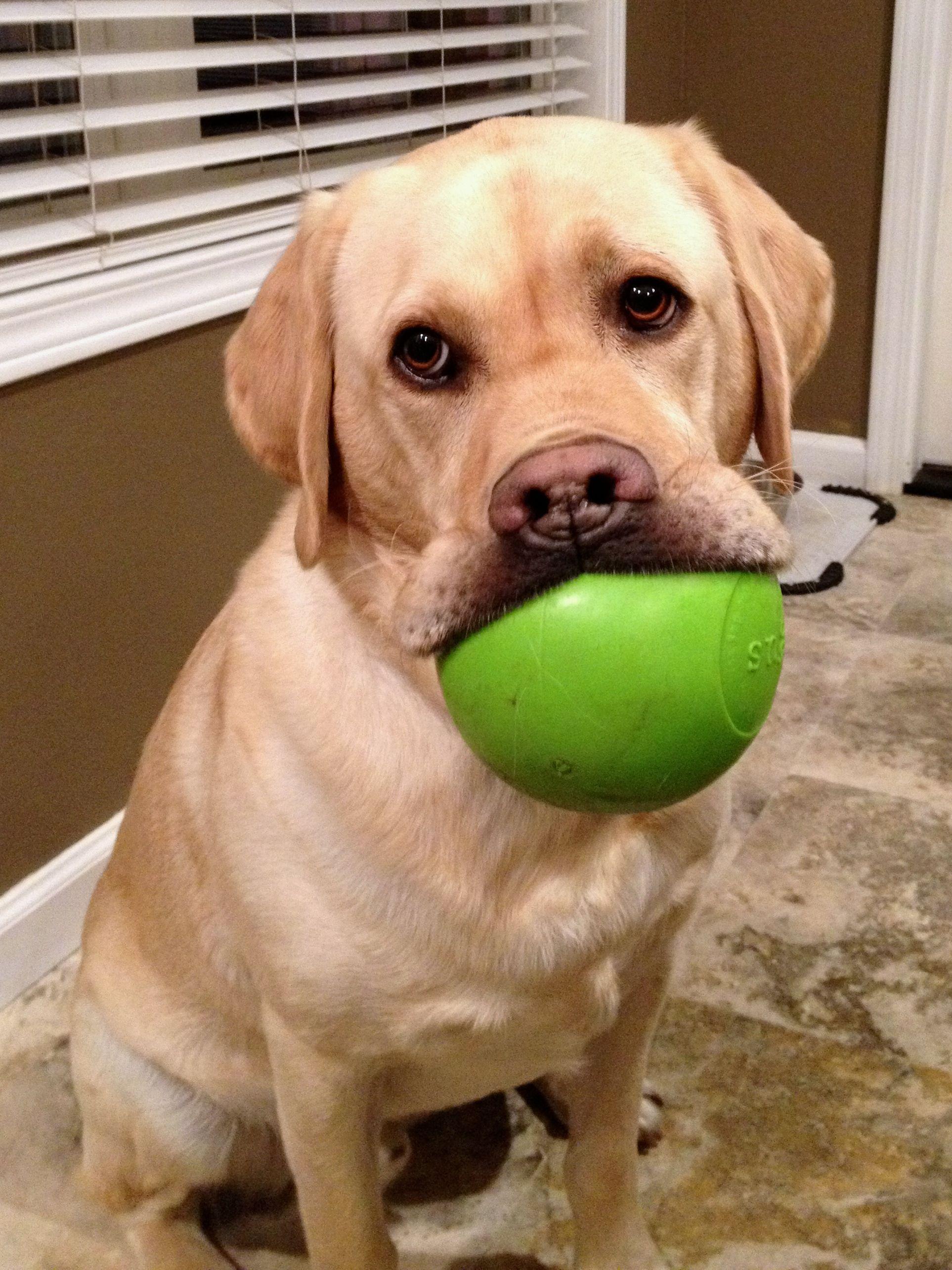 I Found My Ball Labrador Retriever Retriever Dogs