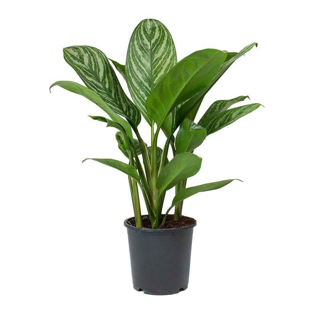 Indoor Evergreen Trees: Aglaonema Stripes - Chinese Evergreen