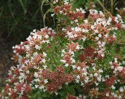 Resultado De Imagen Para Abelia Grandiflora Plantas Jardin Paisajismo Jardineria