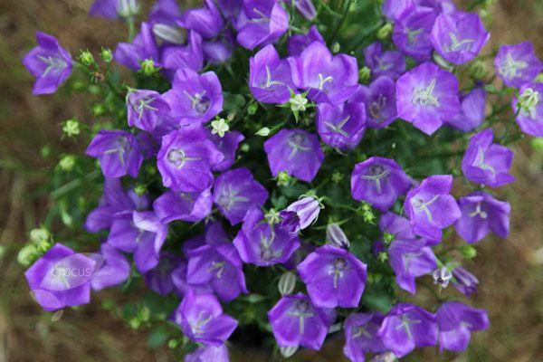 Campanula Carpatica Blaue Clips Bellflower Plants Bellflower Plant Rock Garden Plants