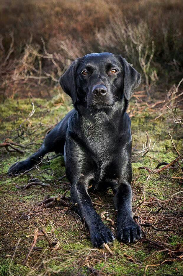 An Inviting Look Into Labradors By Patrick De Gier It S A Lab Thing Labrador Retriever Black Labrador Retriever Beautiful Dogs