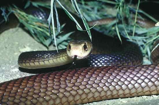 Cobras Venenosas Veja As 10 Mais Perigosas Do Mundo Poisonous