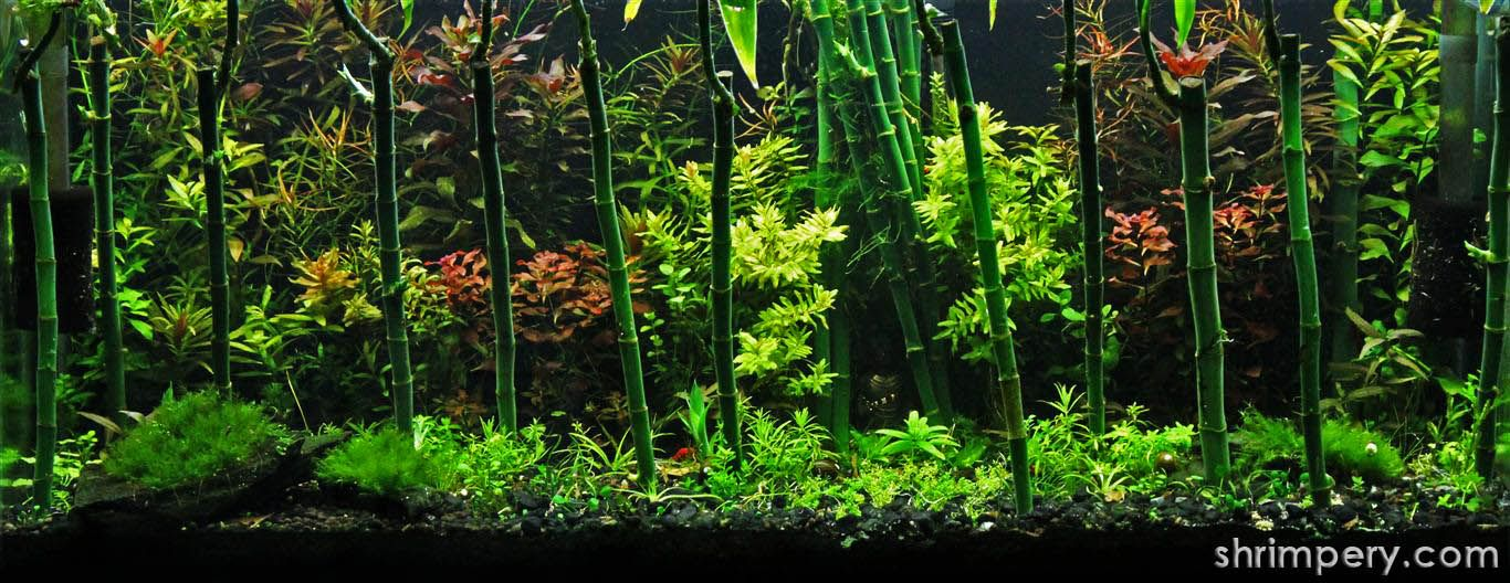 Aquascaping With Lucky Bamboo