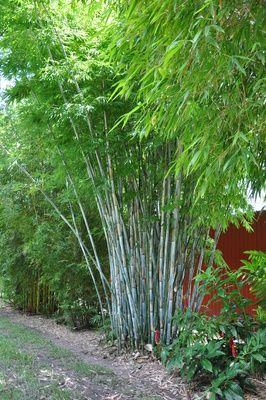 bambusa chungii tropical blue bamboo