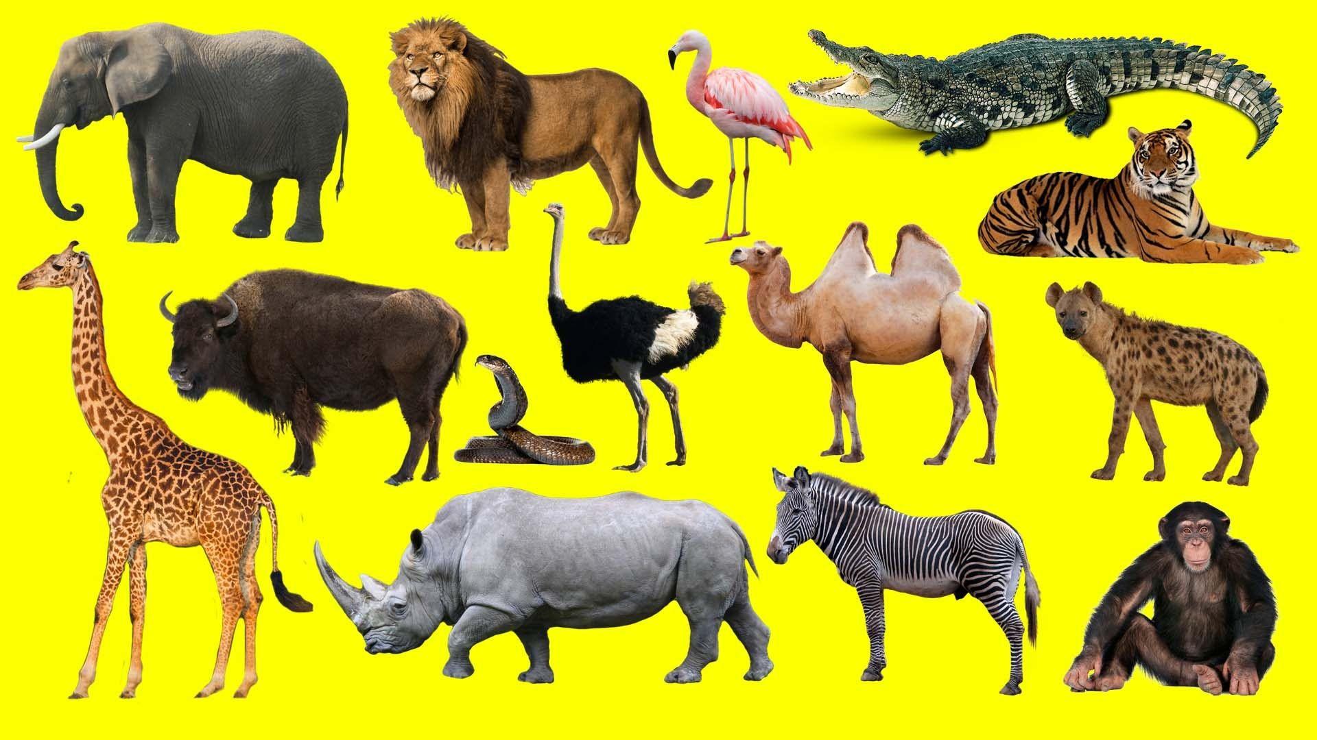 Aprender El Nombre Y Los Gritos De Los Animales Salvajes