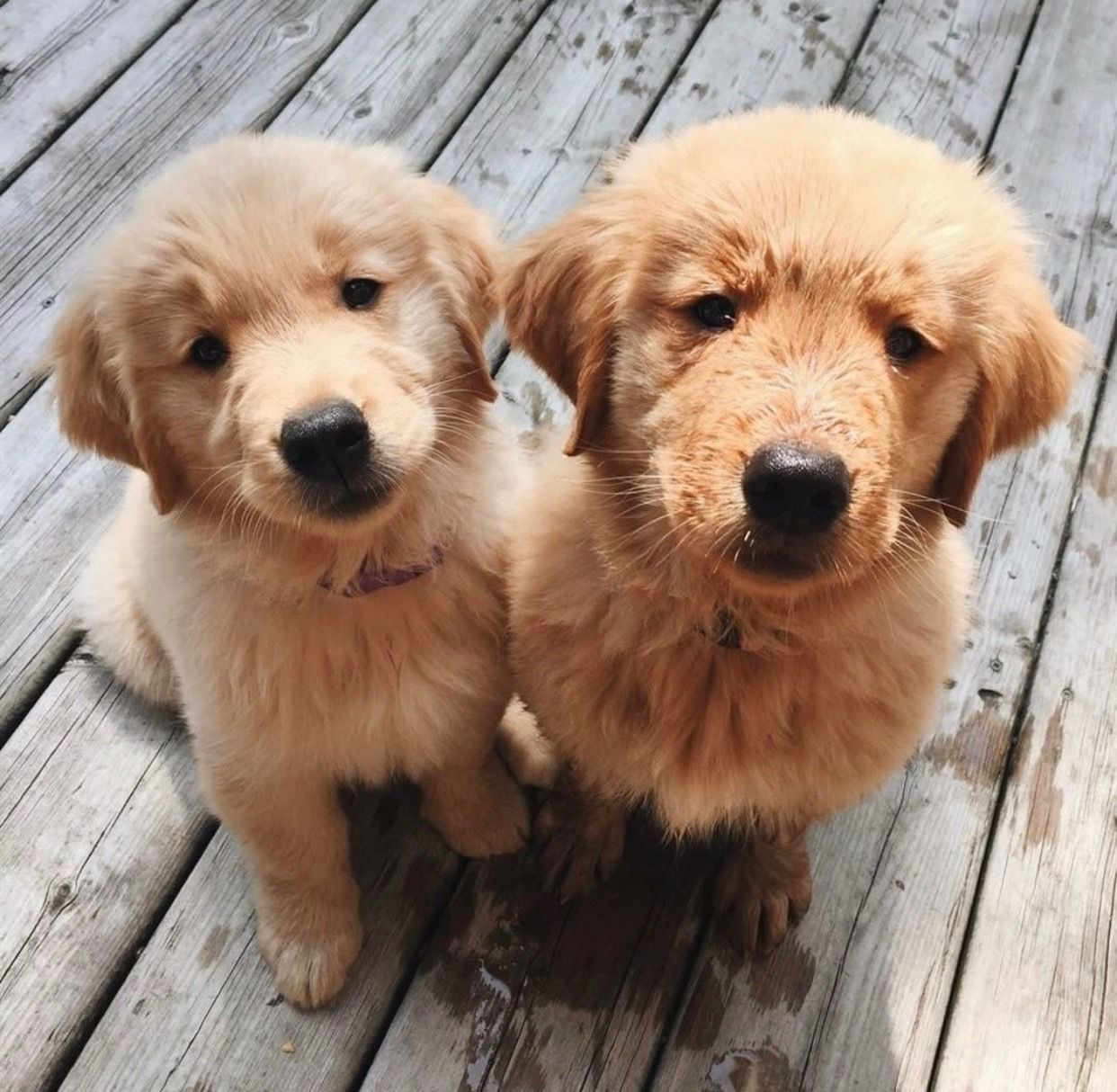 Not One But Two Perfect Golden Retriever Puppies Looking Like The