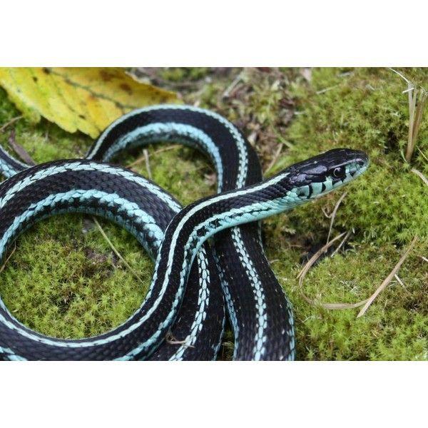 Puget Sound Garter Snakes Pet Snake Snake Snake Lovers