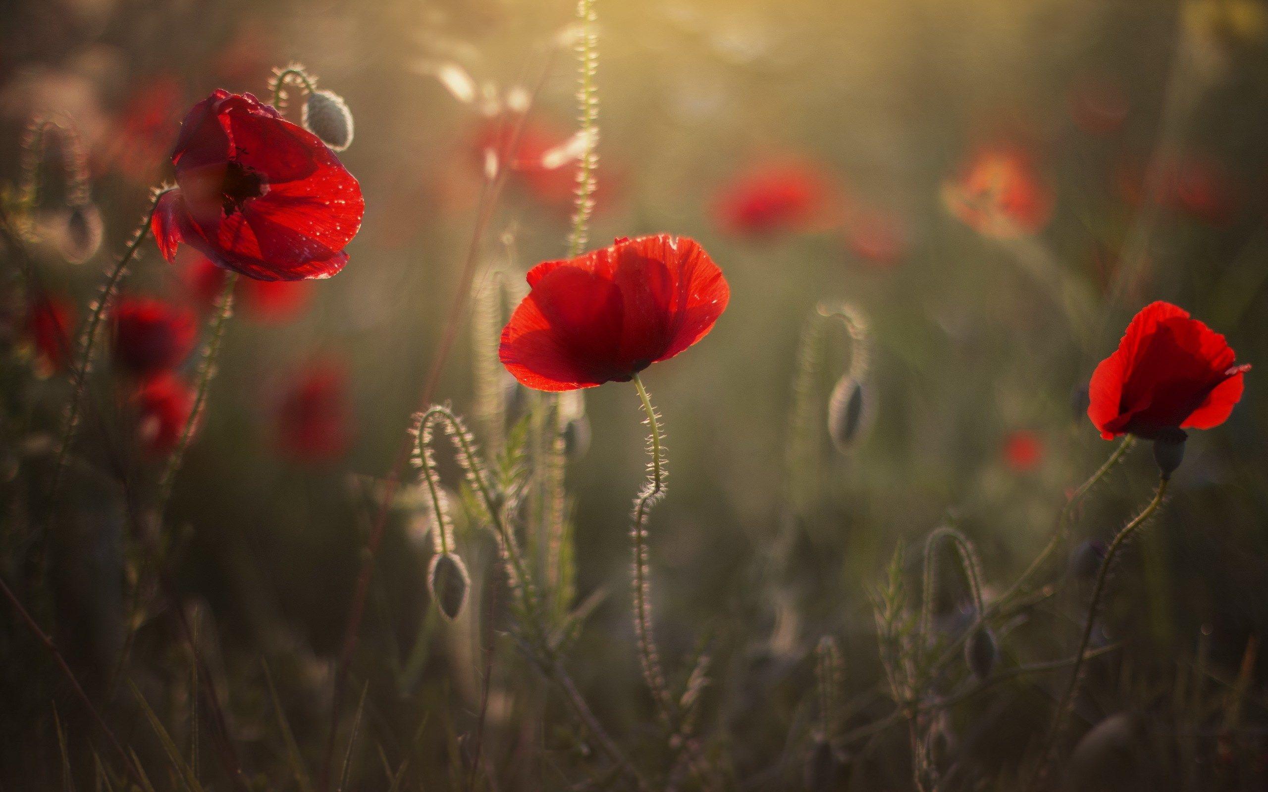 Bedford Waite - free desktop pictures poppy - 2560x1600 px ...