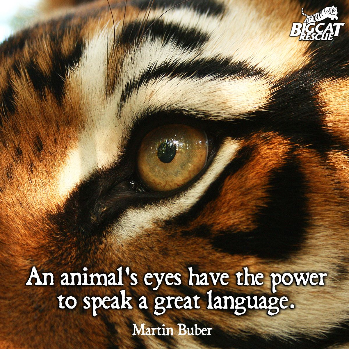 So true we like this quote tiger eye animal - Animal pak motivational quotes ...